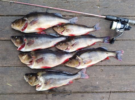 Redfin | Fishing - Fishwrecked