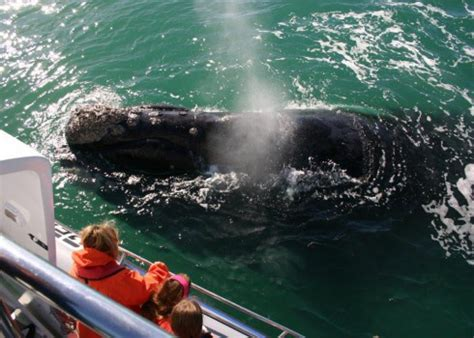 Whale Watching Tours South Africa   Best Whale Watching in